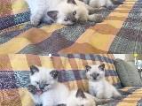 Safkan bluepoint british shorthair yavrularımız