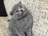 Scottish fold yavru 2 aylık acil