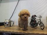 Orjinal ırk garantili toy poodle yavruları