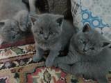 British shorthair yavru kedilerimiz