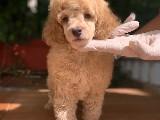 Show Traşlı Toy Poodle Yavru