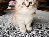 Brtish & scottish yavru kedi