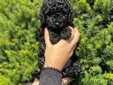Irk ve Sağlık Garantili Orjinal Toy Poodle