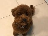 Red brown erkek toy poodle bebeğimiz