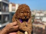 Toy poodle bekleyen