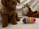 Teslime Hazır Irk Ve Sağlık Garantili Toy Poodle yavrular