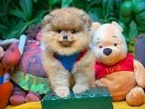 @yavrupatiler den SCR li Pomeranian Boo