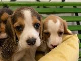Orijinal ırk garantili beagle yavrular