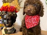 AB pasaportlu mikroçipli chocolate toy poodle
