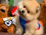 En iyi PomeranianBoo Yavrularımızdan