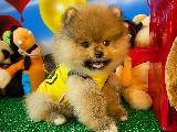 Yeni Gelen PomeranianBoo Yavrularımızdan
