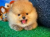 2.5 Aylık TeacupBoy PomeranianBoo