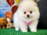 Sıfır Numara Safkan PomeranianBoo Yavrumuz