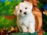 @yavrupatiler den beyaz maltese terrier