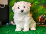 @yavrupatiler den Maltese terrier beyaz yavru