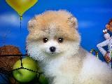 Gülen Surat Pomeranian Boo Yavrularimiz