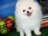 Miniboy Boy A Kalite Pomeranian Yavrularımızdan