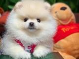 Ayı Surat Pomeranian Boo Kızımız Venüs