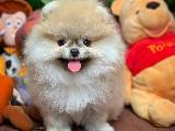 Irk ve Sağlik Garantil Pomeranian Boo Yavrularimiz