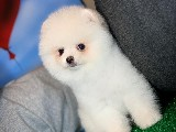 3 Aylık Kar Beyazı Secereli Boo Oğlumuz