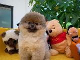 Toy poodle apricot erkek yavrumuz Carlos