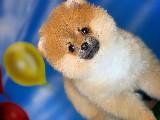 3.5 Aylık Dişi Secereli Safkan PomeranianBoo Kızımız