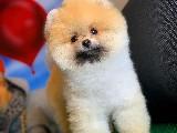 3.5 Aylık Secere Sertifikalı Pomeranian Boo Oğlumuz