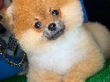3.5 Aylık Dişi Secereli Safkan PomeranianBoo Oğlumuz