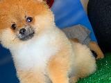 Başlangıç Seviyesi Tuvalet Eğitimli PomeranianBoo