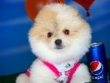 En İyi Fiyat ve Kalite Garantisi ile PomeranianBoo Yavrularımız