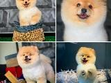 Şampiyon tatlılığında Pomeranian boo yavrumuz