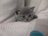 British Shorthair Dişi Yavrumuz (2 Aylık) ömürlük ailesini bekliyor