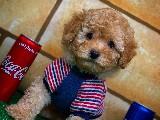 3 Aylik Toy Poodle Yavrumuz