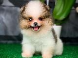TeddyBear Yüz Yapısına Sahip Pomeranian Boo Yavrumuz