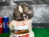 Özel Üretim Pomeranian Boo Yavrularımızdan