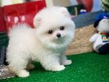 Safkan Kar Beyazı TeddyBear Boo Oğlumuz