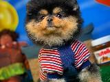Ender Rastlanan Siyah PomeranianBoo Kızımız
