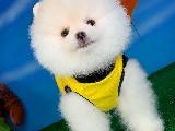 Kar Beyaz MiniBoy PomeranianBoo Yavrumuz
