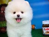 Kar Beyaz Pomeranian Boo yavrularımız