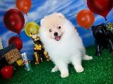 Pomeranian Boo yavrularımız yarışma düzeyinde