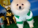 En Uygun Pomeranian Yavrularımızdan