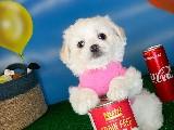 2.5 Aylık Dişi Maltese Terrier Yavrumuz