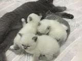 2 aylık britishshorthair bebekler!