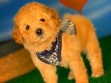 3 Aylık Toy Poodle Erkek Yavrumuz