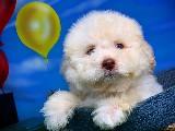 4.5 Aylık Muhteşem Karakter Yapısına Sahip Poodle Yavrumuz