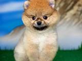 Bu Haftanın Yavrularından 3 Aylık Pomeranian Kızımız