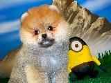 Orijinal Renk Yapısına Sahip Pomeranian Oğlumuz