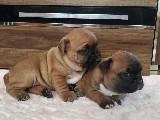 Orijinal ırk garantili frenchbulldog yavruları