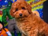 Bu Haftanın Yeni Gelen En İyi Poodle Yavrularından