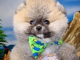Teacup Boy Safkan PomeranianBoo Oğlumuz